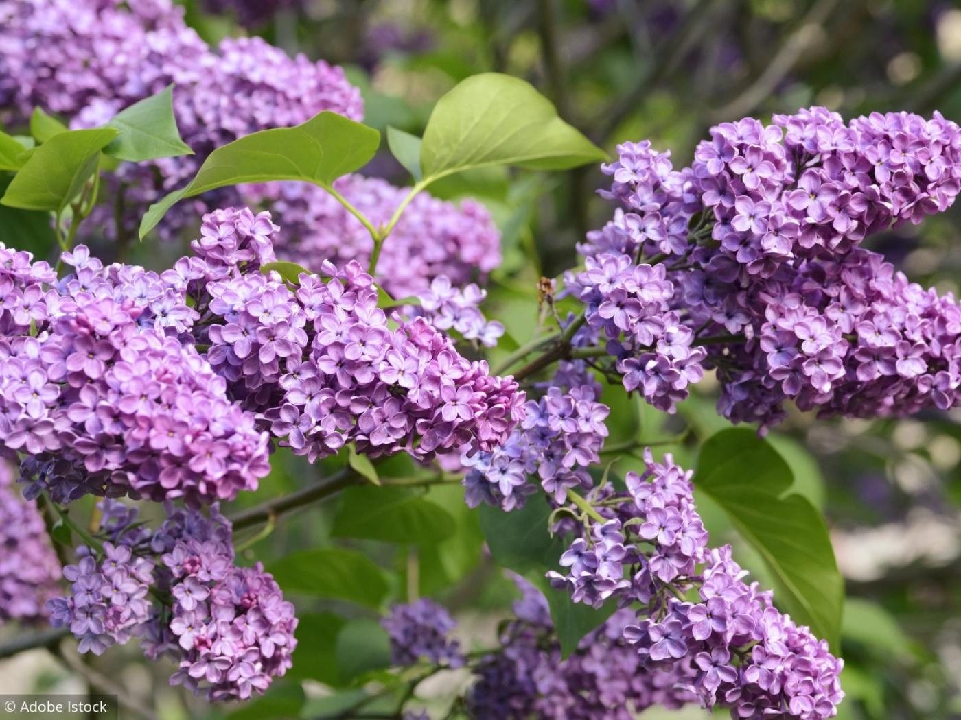 8 Conseils Pour Avoir Un Beau Lilas concernant Fleur Qui Pousse Au Printemps