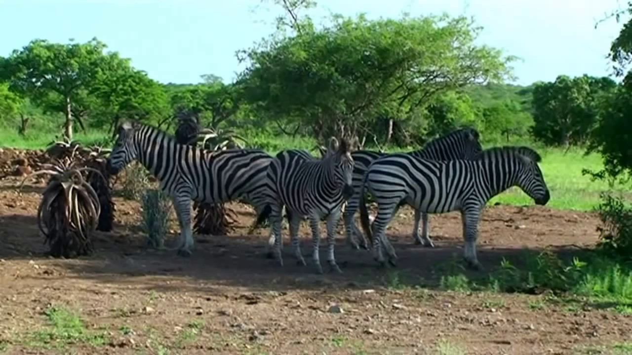 Afrique Du Sud Les #animaux#sauvages Du Parc #paul- Kruger destiné Animaux Sauvages De L Afrique