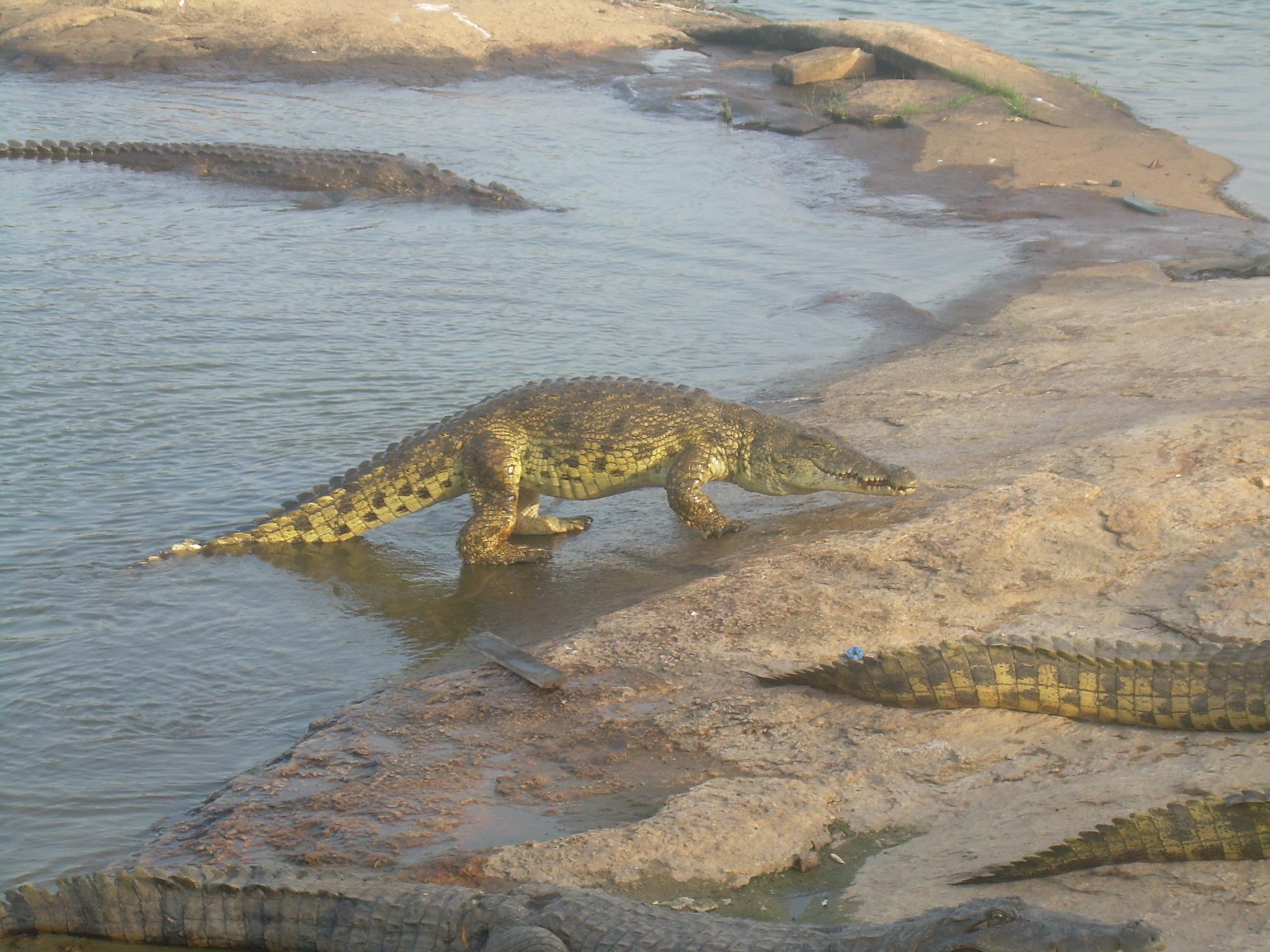 Ah ! Les Crocodiles – Wikipedia à Ah Les Cro