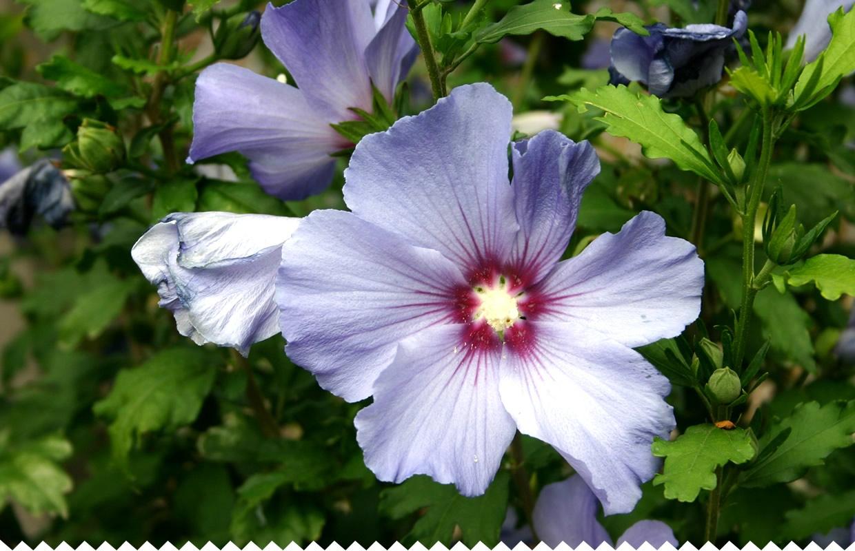 Althéa, Hibiscus Syriacus - Semer, Planter, Bouturer - Jaime encequiconcerne Fleur Qui Pousse Au Printemps
