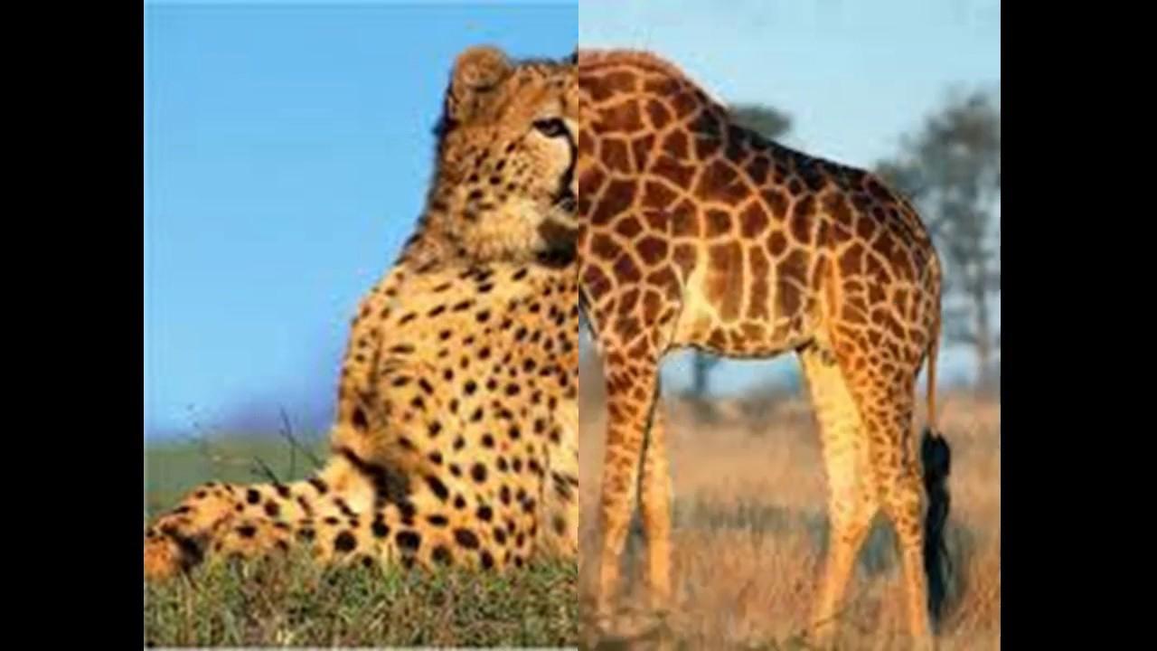 Animaux Sauvages D'afrique N°2 - serapportantà Animaux Sauvages De L Afrique