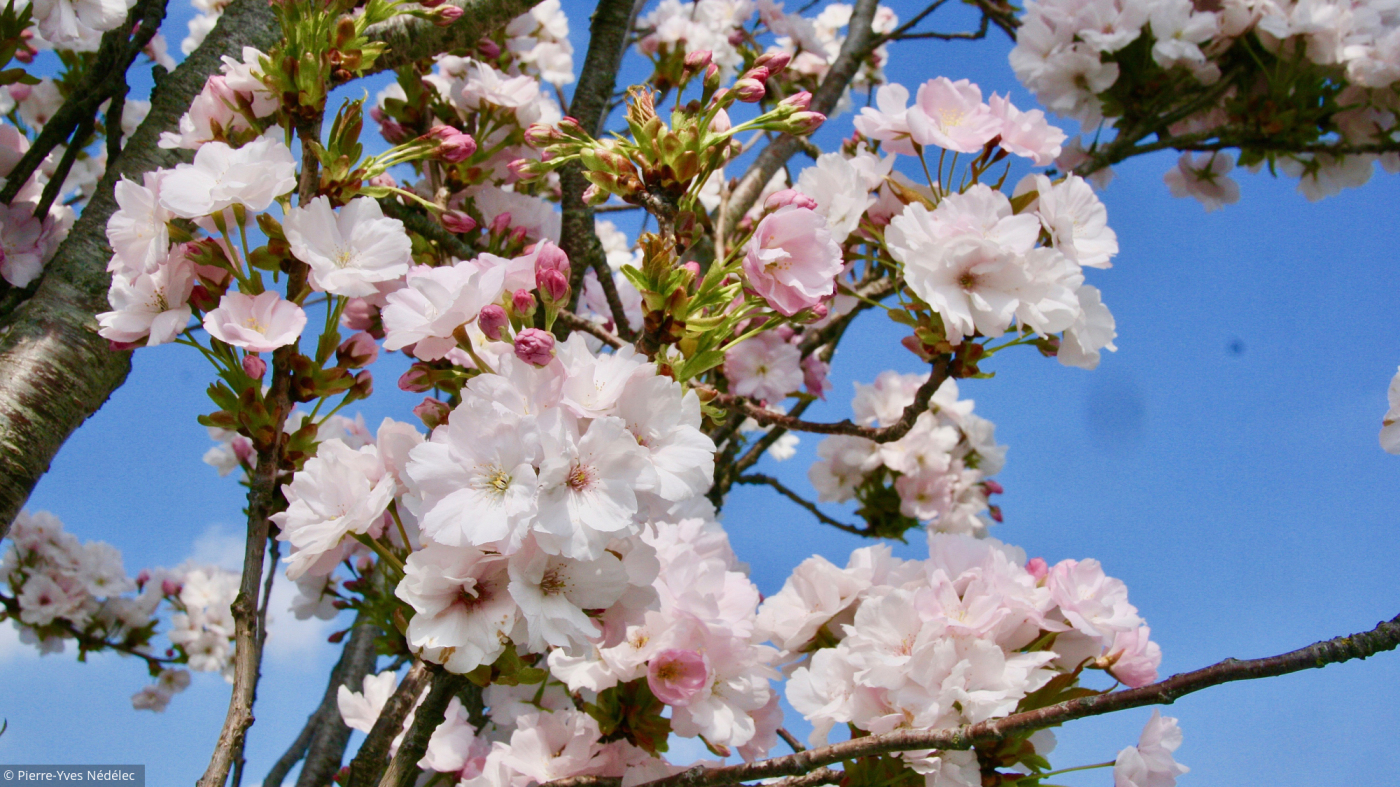 Au Jardin, Les Cerisiers Du Japon Font Le Printemps à Fleur Qui Pousse Au Printemps