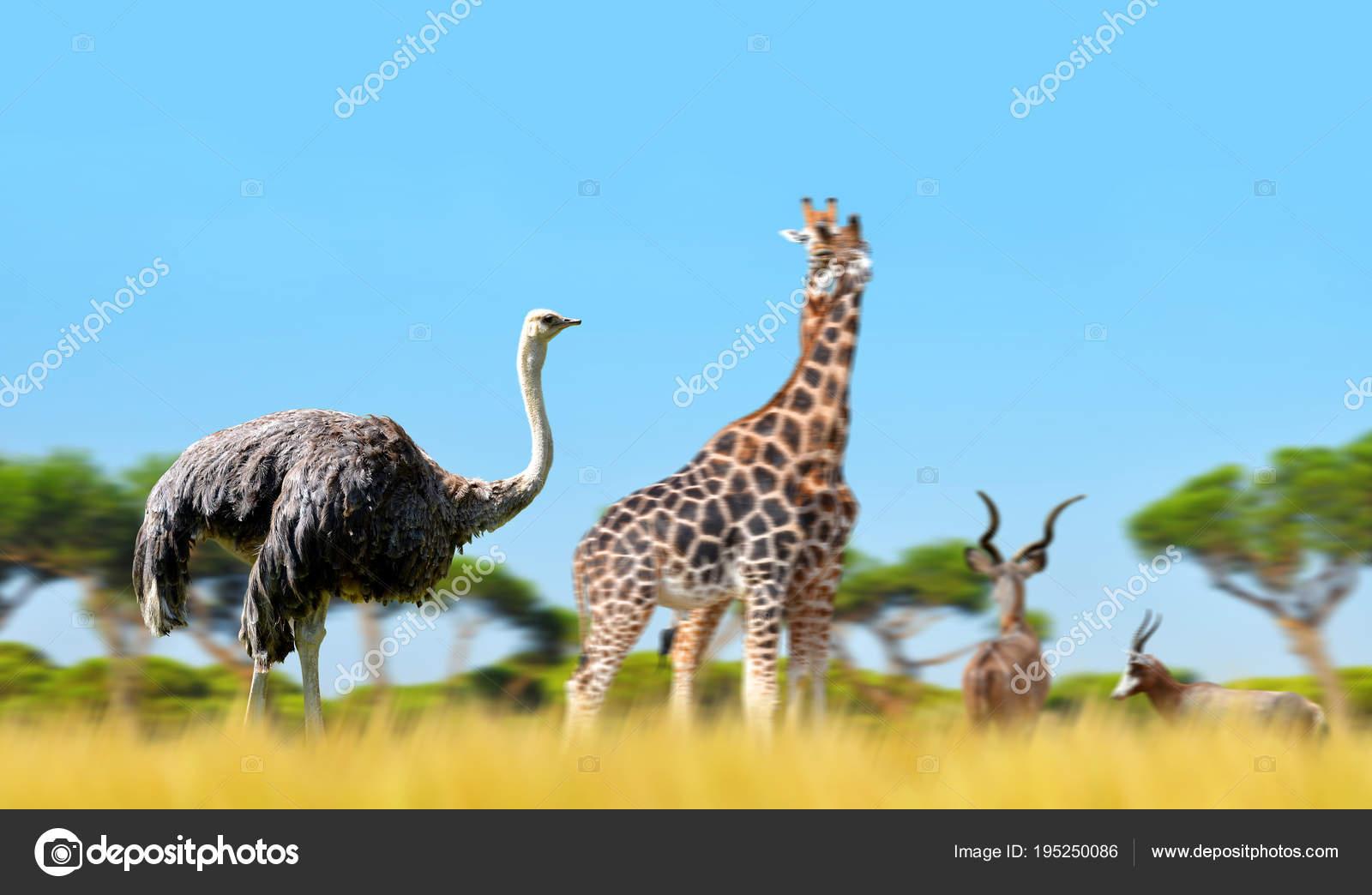 Autruche Avec Les Girafes Les Antilopes Dans Savane Animaux avec Animaux Sauvages De L Afrique