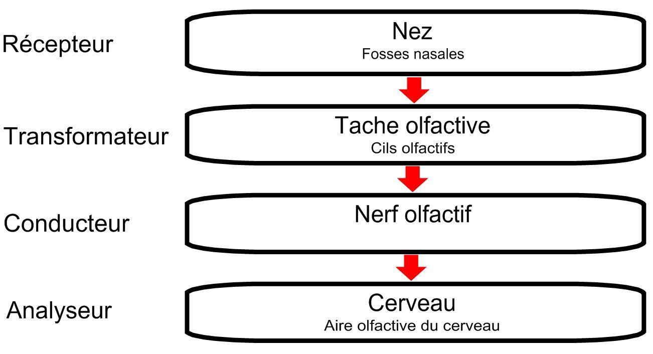 Bibliothèque Virtuelle L'odorat Et Le Nez concernant Odeur Dans Le Nez