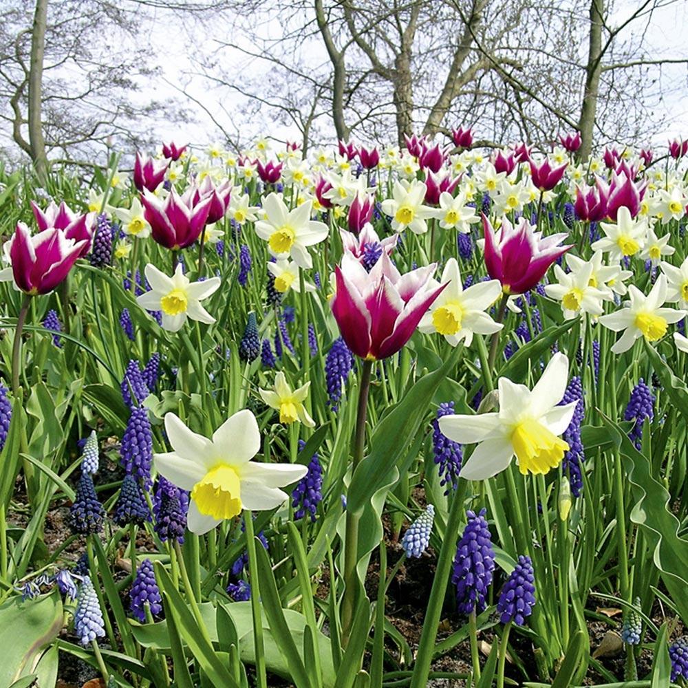 Bulbe : Conseils De Plantation à Fleur Qui Pousse Au Printemps