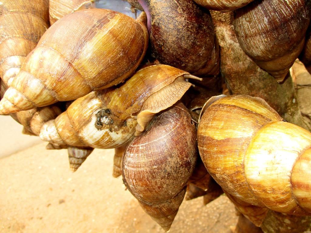Cameroun : Technique D'élevage Des Escargots - La Voix Du Paysan avec Elevage Escargot