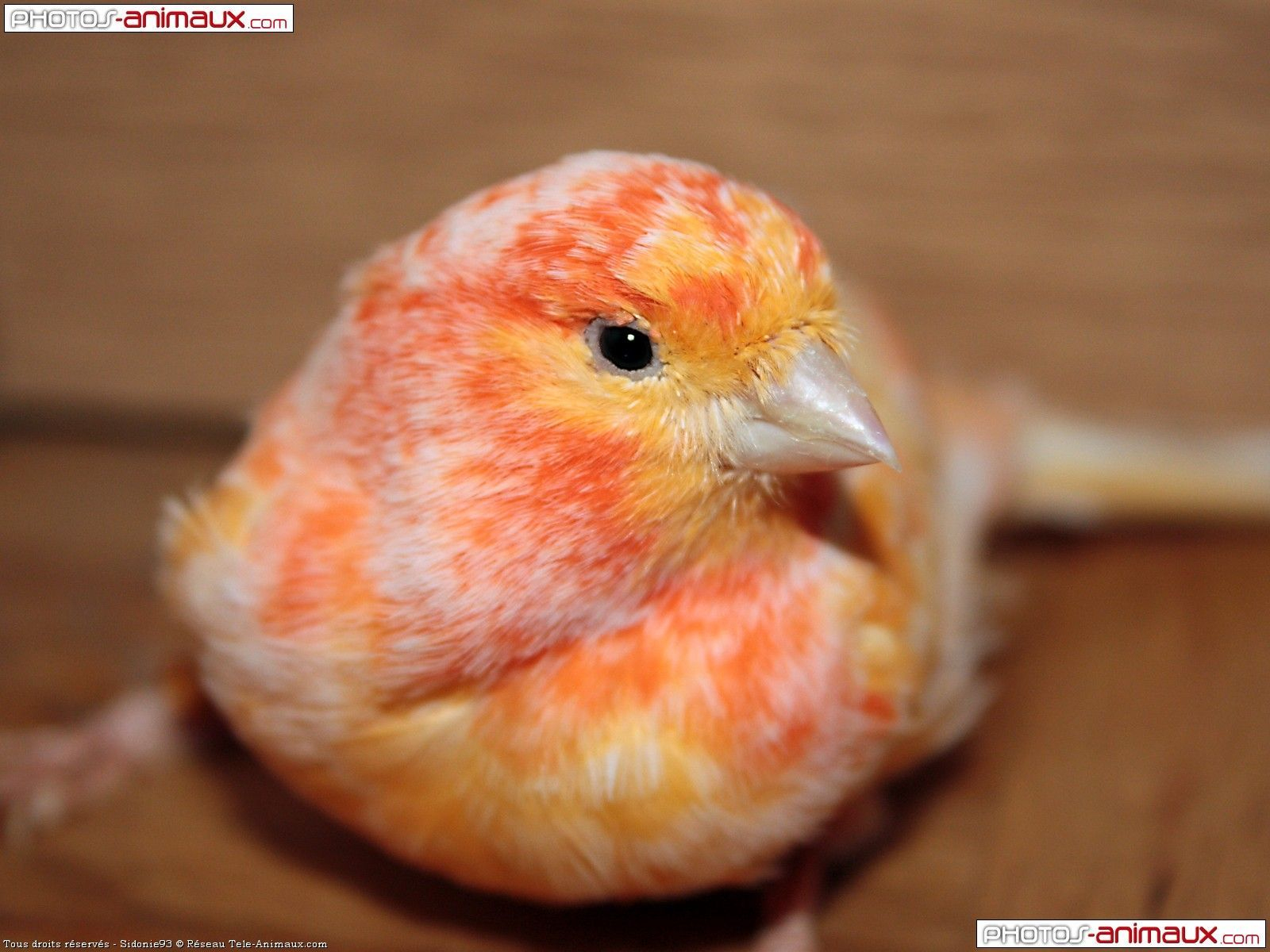 Canaries Oiseaux | Fond D'écran Gratuit D'oiseaux Canari concernant Images D Oiseaux Gratuites
