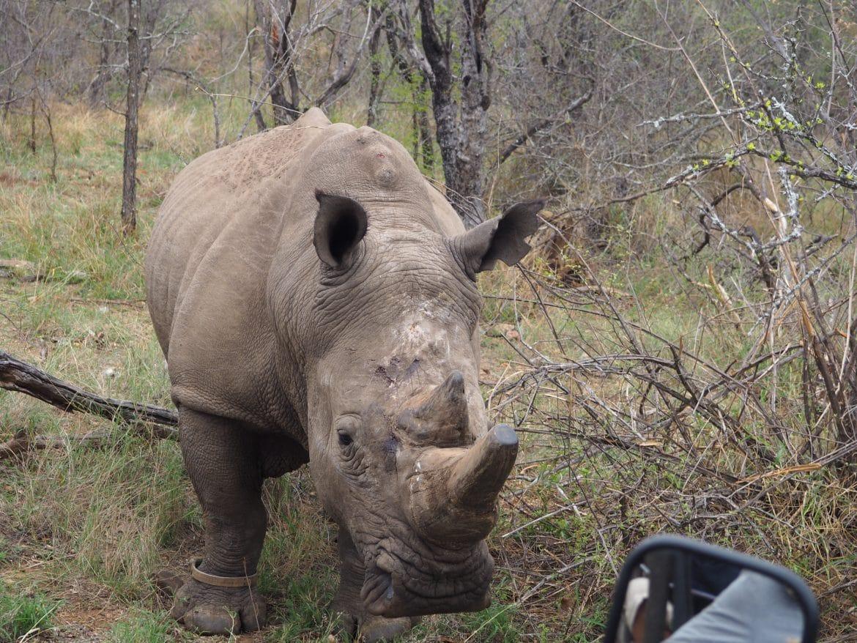 Carnets De Voyage : Face À Face Avec Un Rhinocéros | Blog serapportantà Animaux Sauvages De L Afrique