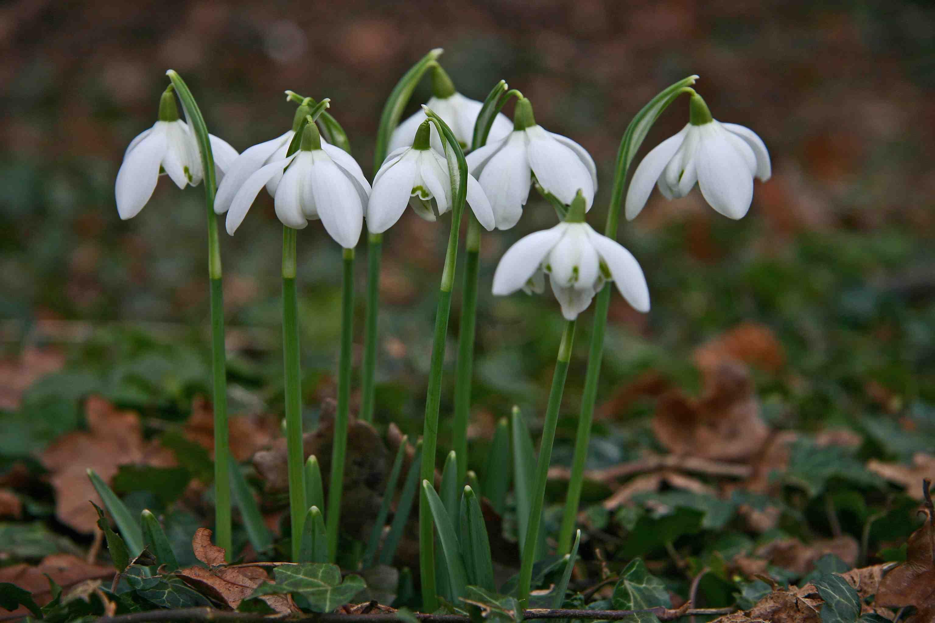Ces Bulbes Qui Apportent Le Printemps – Jardinier Paresseux encequiconcerne Fleur Qui Pousse Au Printemps