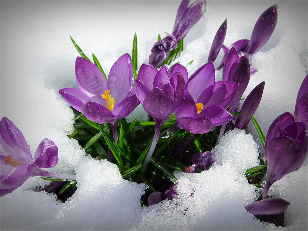 Ces Bulbes Qui Apportent Le Printemps – Jardinier Paresseux tout Fleur Qui Pousse Au Printemps