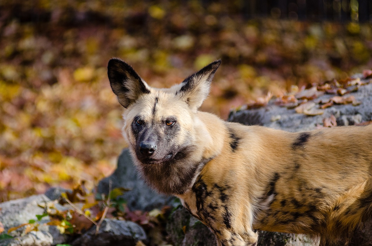 Chien Sauvage D'afrique – Tous Les Animaux concernant Animaux Sauvages De L Afrique