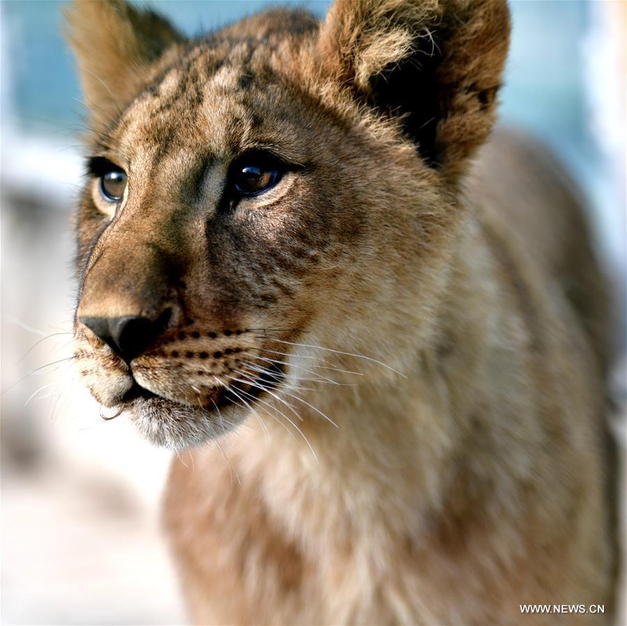Chine: Des Bébés Lions D'afrique Élevés Sur Le Plateau pour Animaux Sauvages De L Afrique