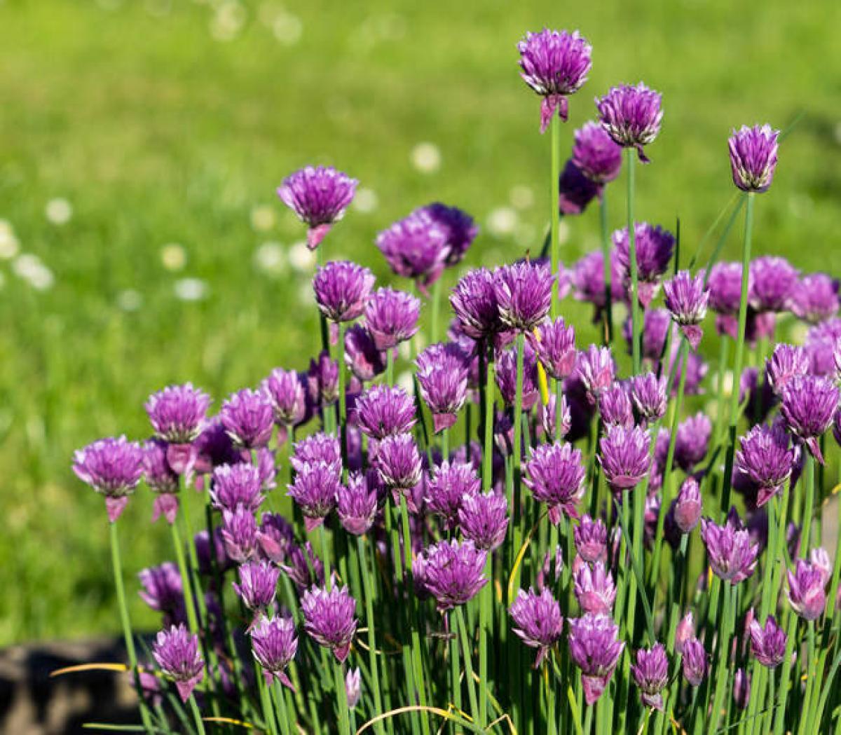 Ciboulette : Plantation Et Culture, Entretien Et Récolte à Fleur Qui Pousse Au Printemps