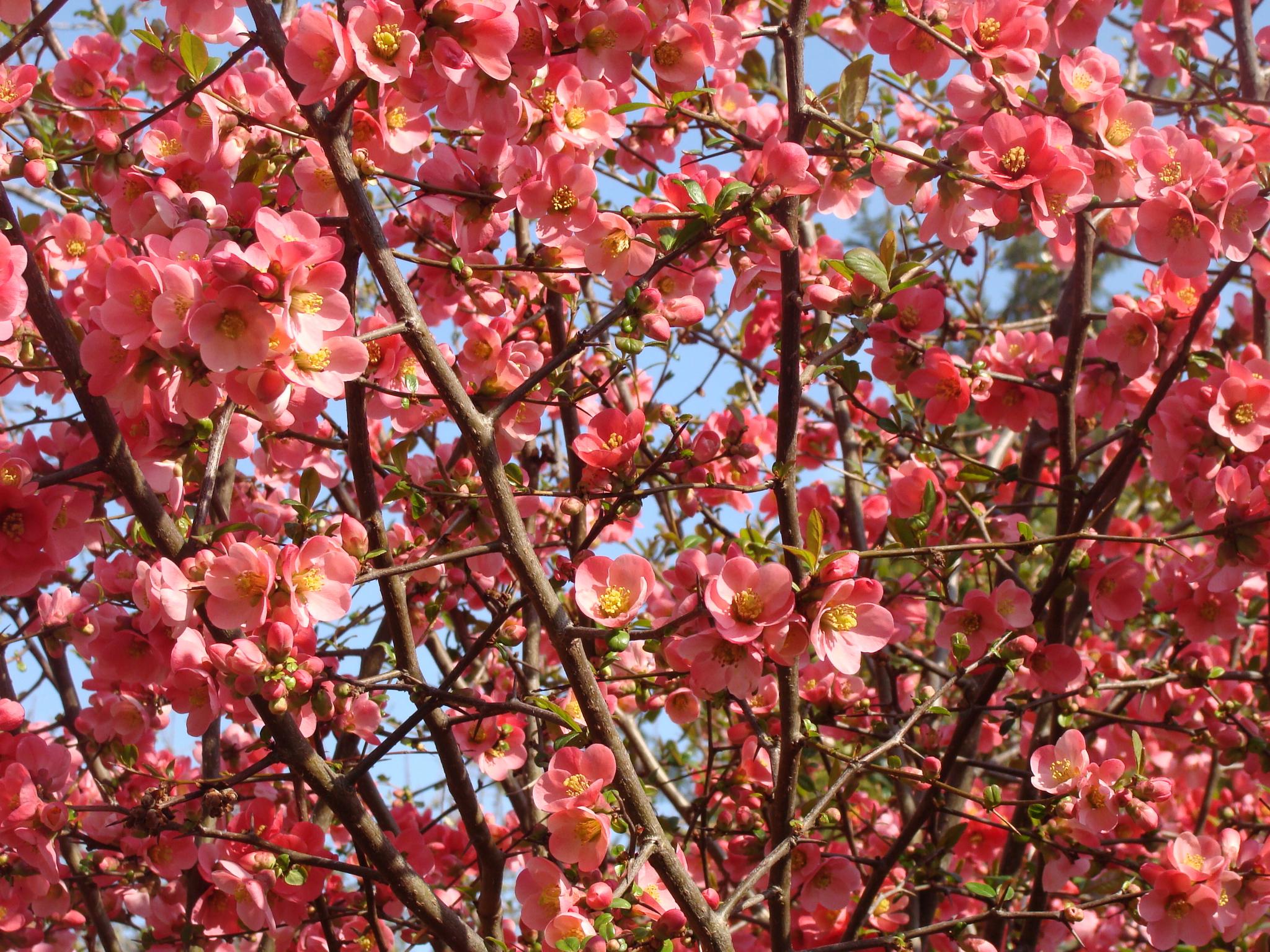 Cognassier Du Japon, Bonjour Printemps ! - Pouce ! Cà Pousse destiné Fleur Qui Pousse Au Printemps