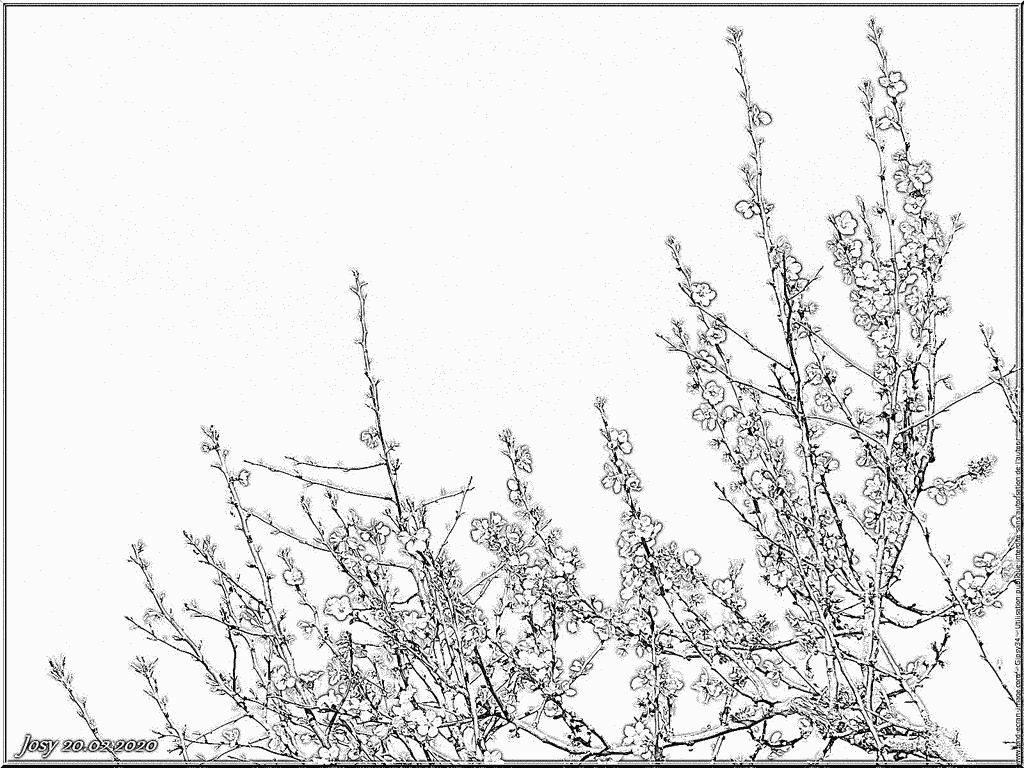 Coloriage Amandier En Fleurs Du 20 Fevrier 2020 À Imprimer serapportantà Coloriage Février
