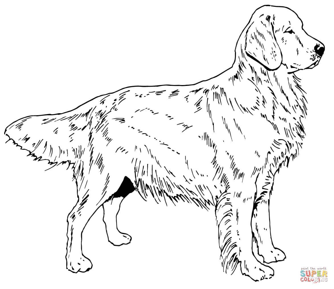 Coloriage - Chien Golden Retriever | Coloriages À Imprimer concernant Coloriage Labrador