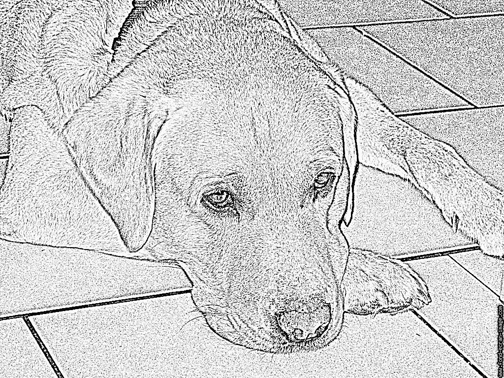 Coloriage Img 0106 À Imprimer Pour Les Enfants - Dessin dedans Coloriage Labrador