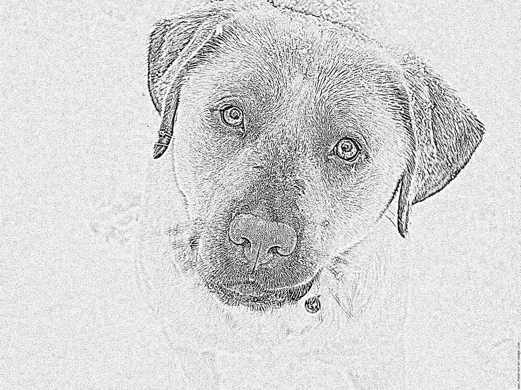 Coloriage P1010087 À Imprimer Pour Les Enfants - Dessin concernant Coloriage Labrador