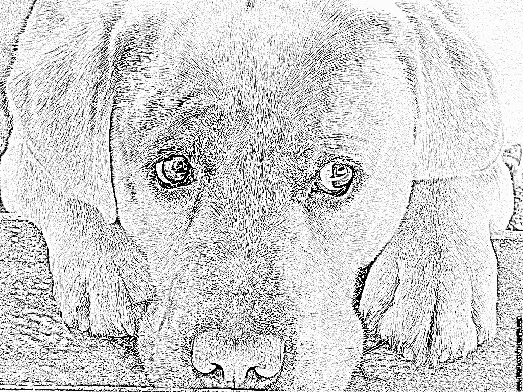 Coloriage San À Imprimer Pour Les Enfants - Dessin Chien concernant Coloriage Labrador