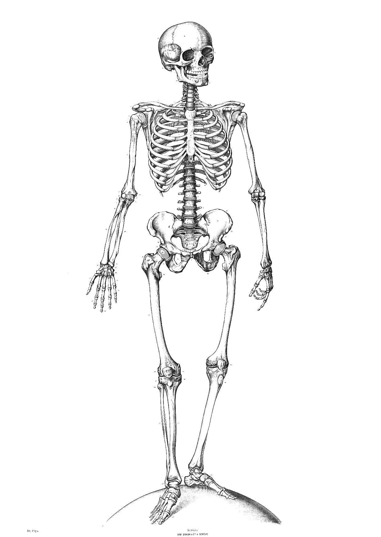 Coloriage Squelette - Coloriages Gratuits À Imprimer à Squelette A Imprimer