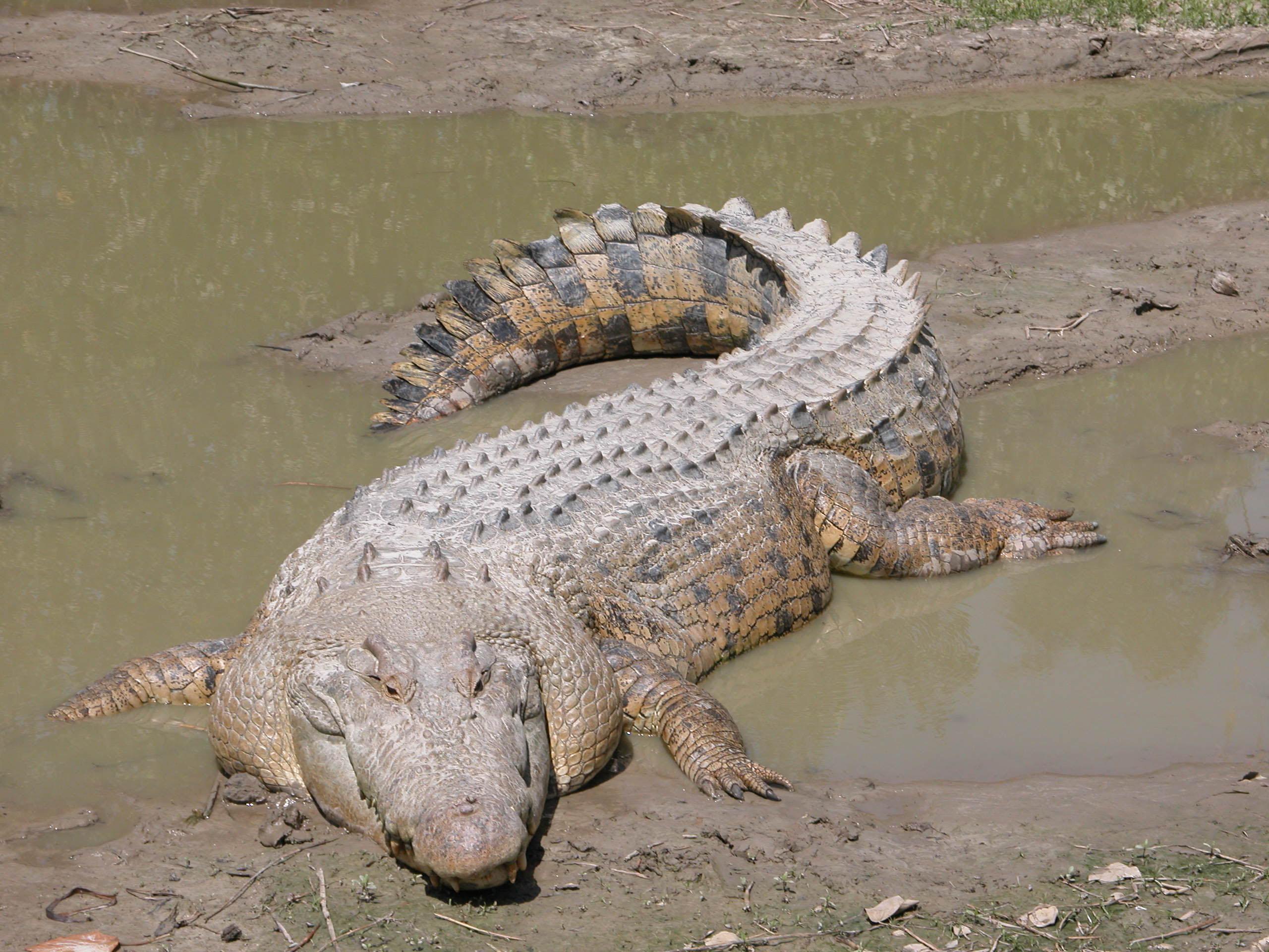 Crocodile Marin — Wikipédia concernant Photo De Crocodile A Imprimer