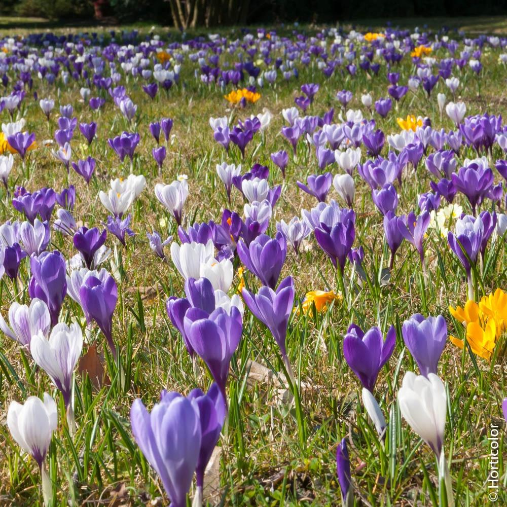 Crocus : Conseils De Plantation Et Entretien pour Fleur Qui Pousse Au Printemps