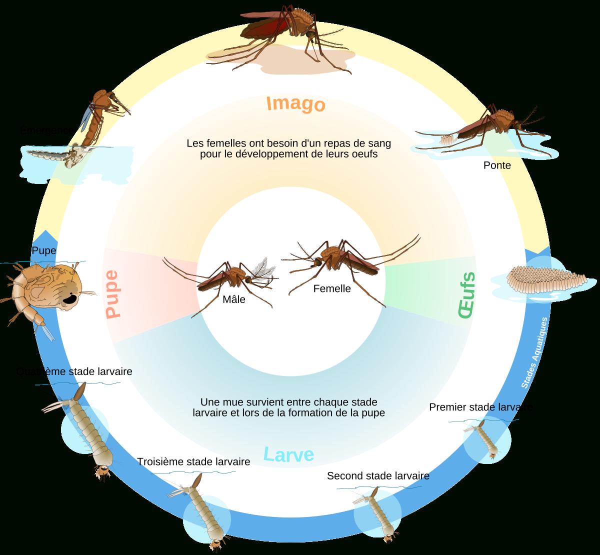 Cycle De Vie De L'insecte — Wikipédia serapportantà Les Noms Des Insectes