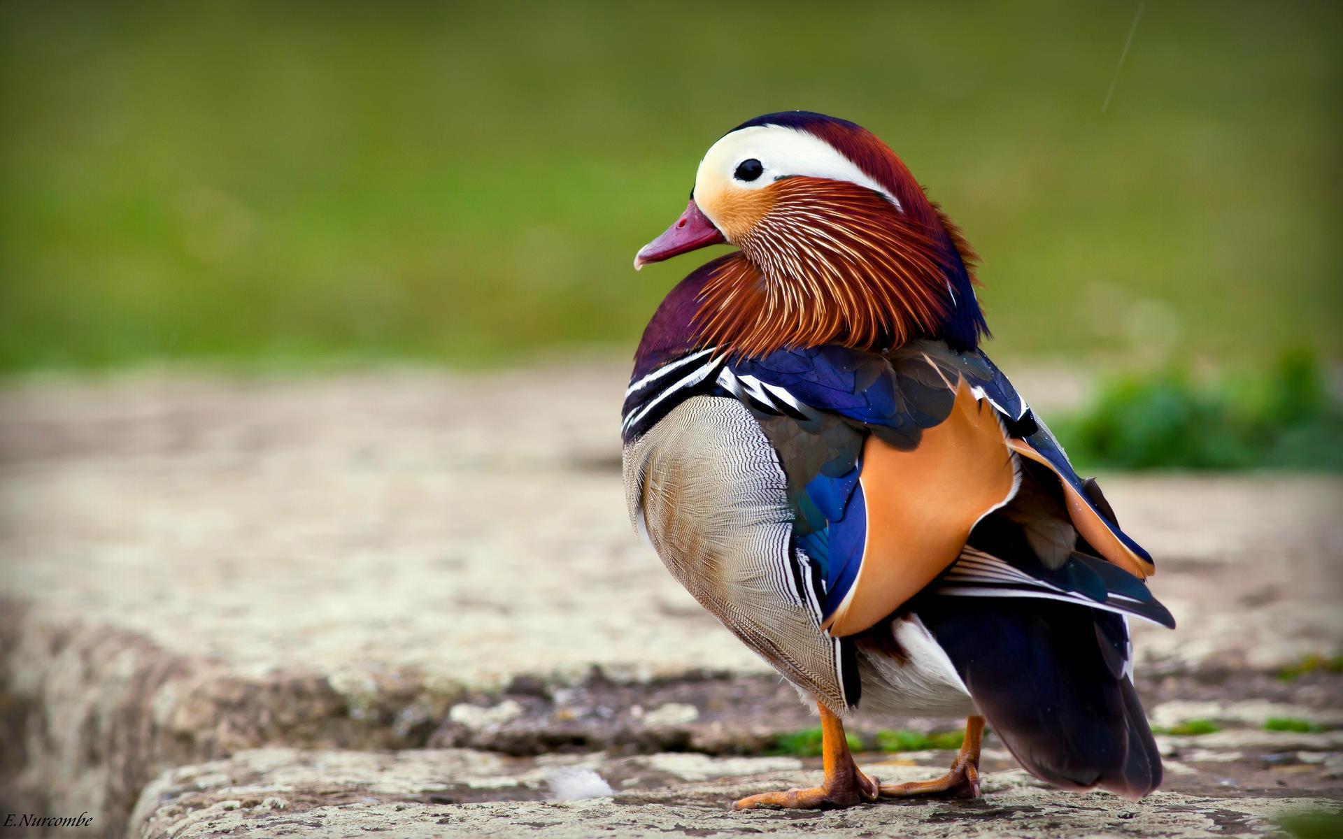 Des Oiseaux - Fond D'écran Et Photos À Télécharger - Série serapportantà Images D Oiseaux Gratuites