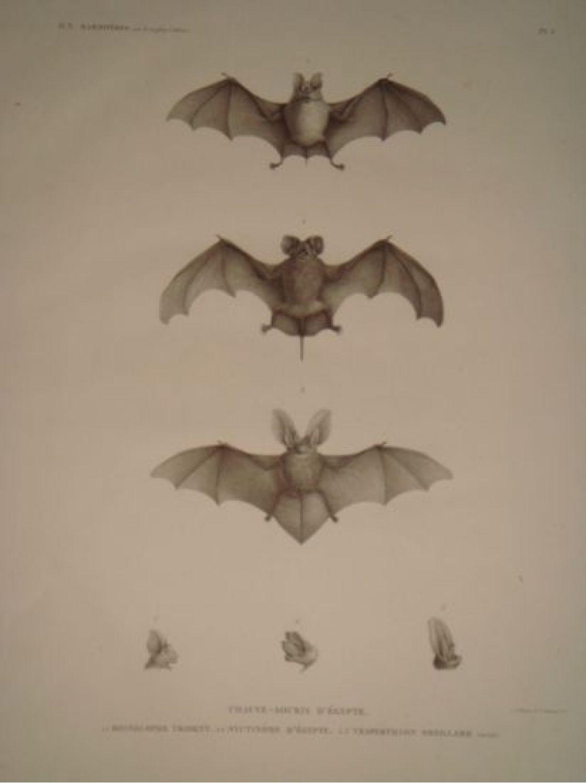 Description De L'egypte. Mammifères. Chauve-Souris D'égypte concernant Origami Chauve Souris