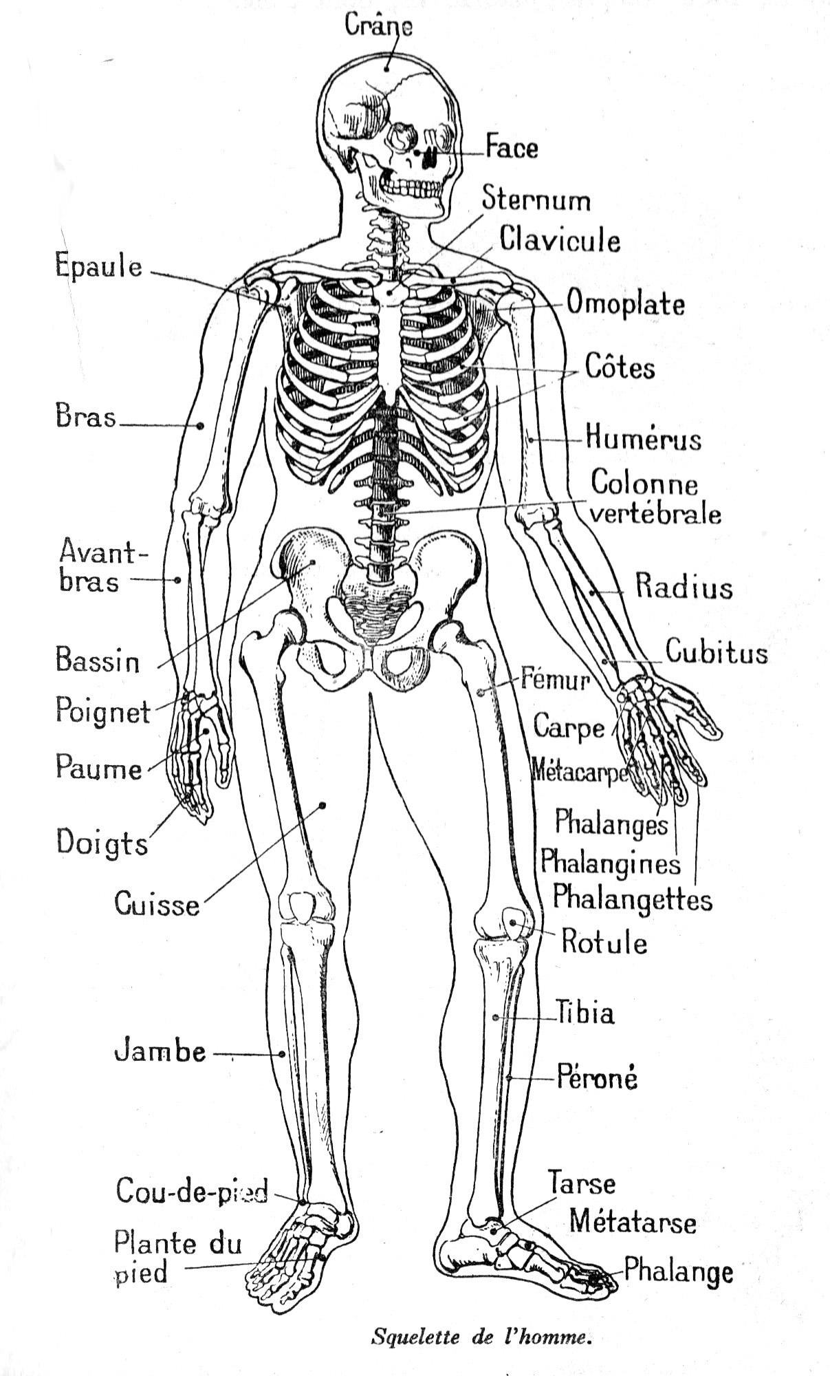 Dessin Anatomie De L Homme : Squelette Homme pour Squelette A Imprimer