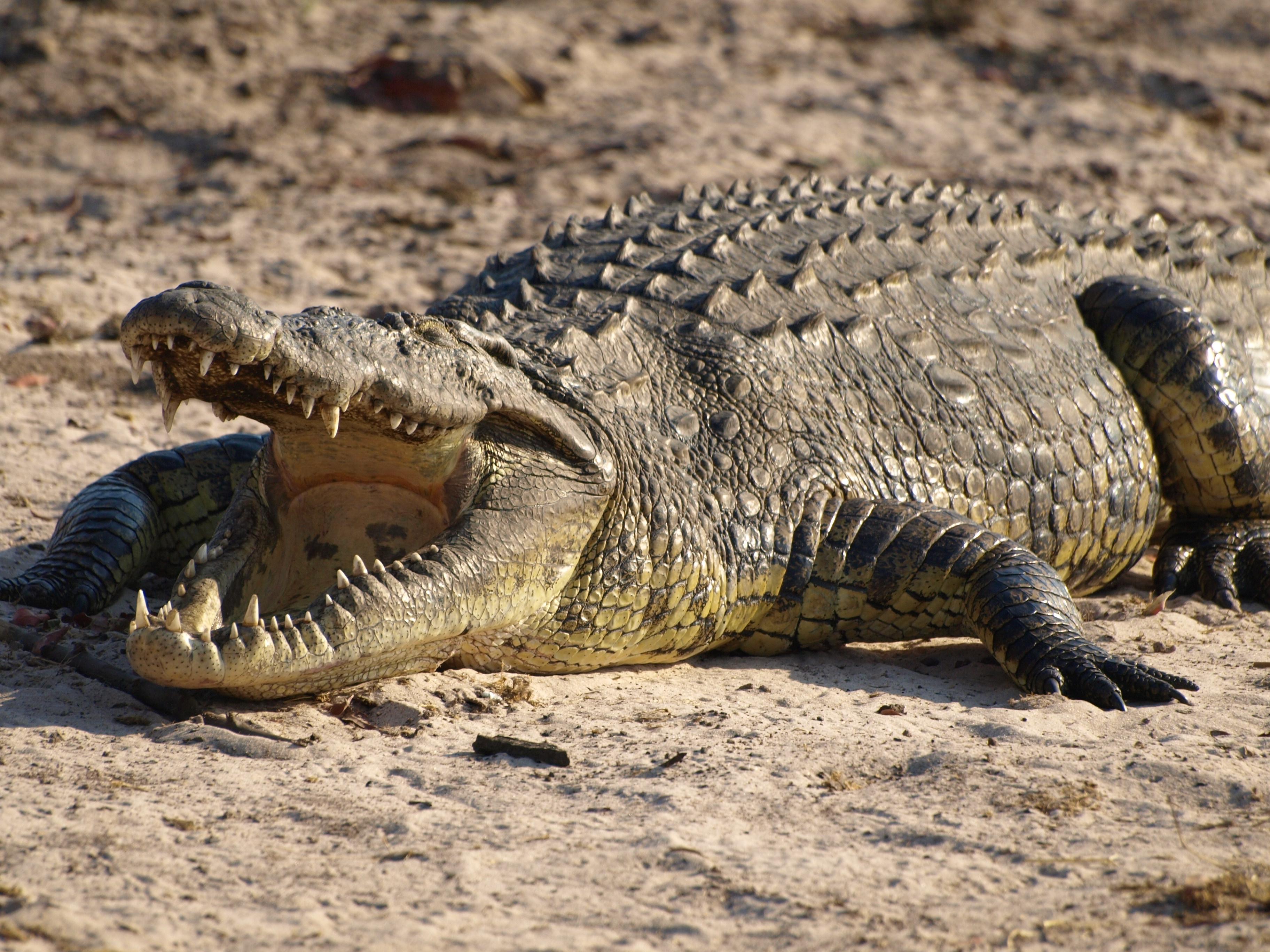 Dessins En Couleurs À Imprimer : Crocodile, Numéro : 684644 encequiconcerne Photo De Crocodile A Imprimer