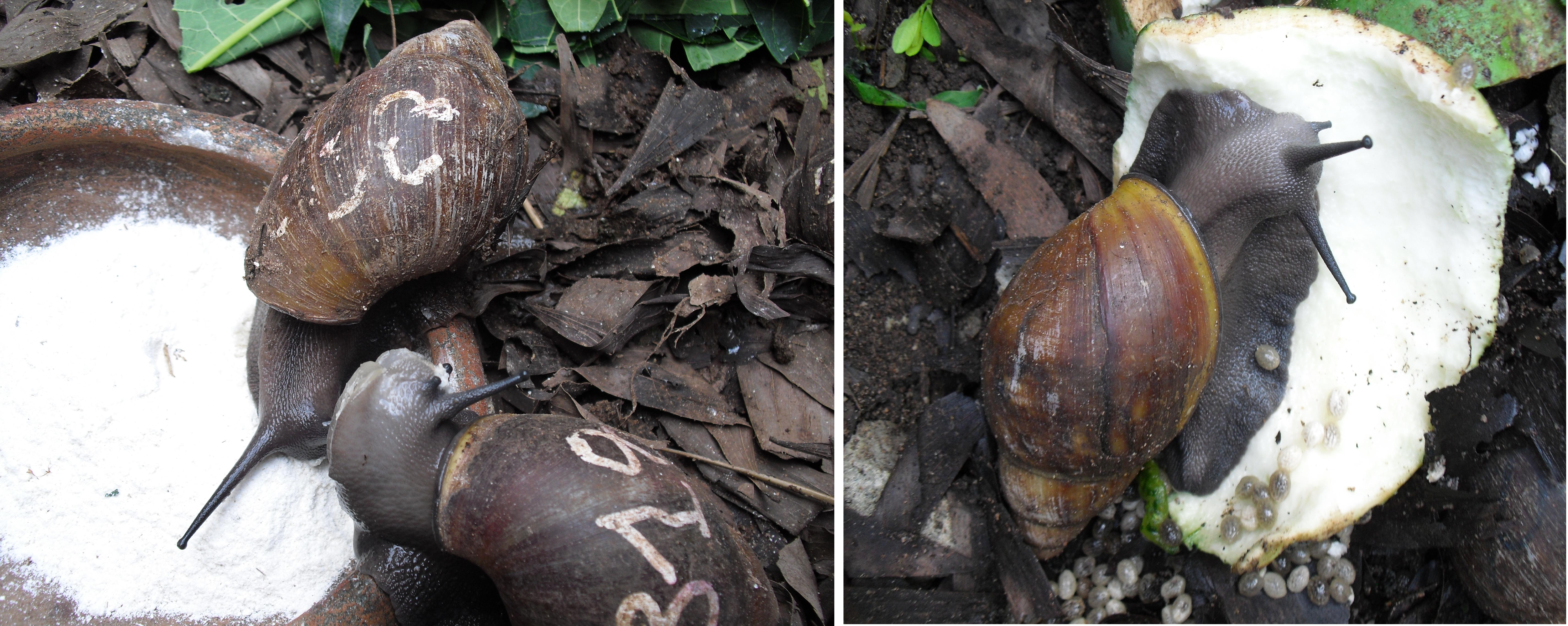 Elevage D'escargot Au Bénin : Un Secteur D'avenir | Le Blog concernant Elevage Escargot