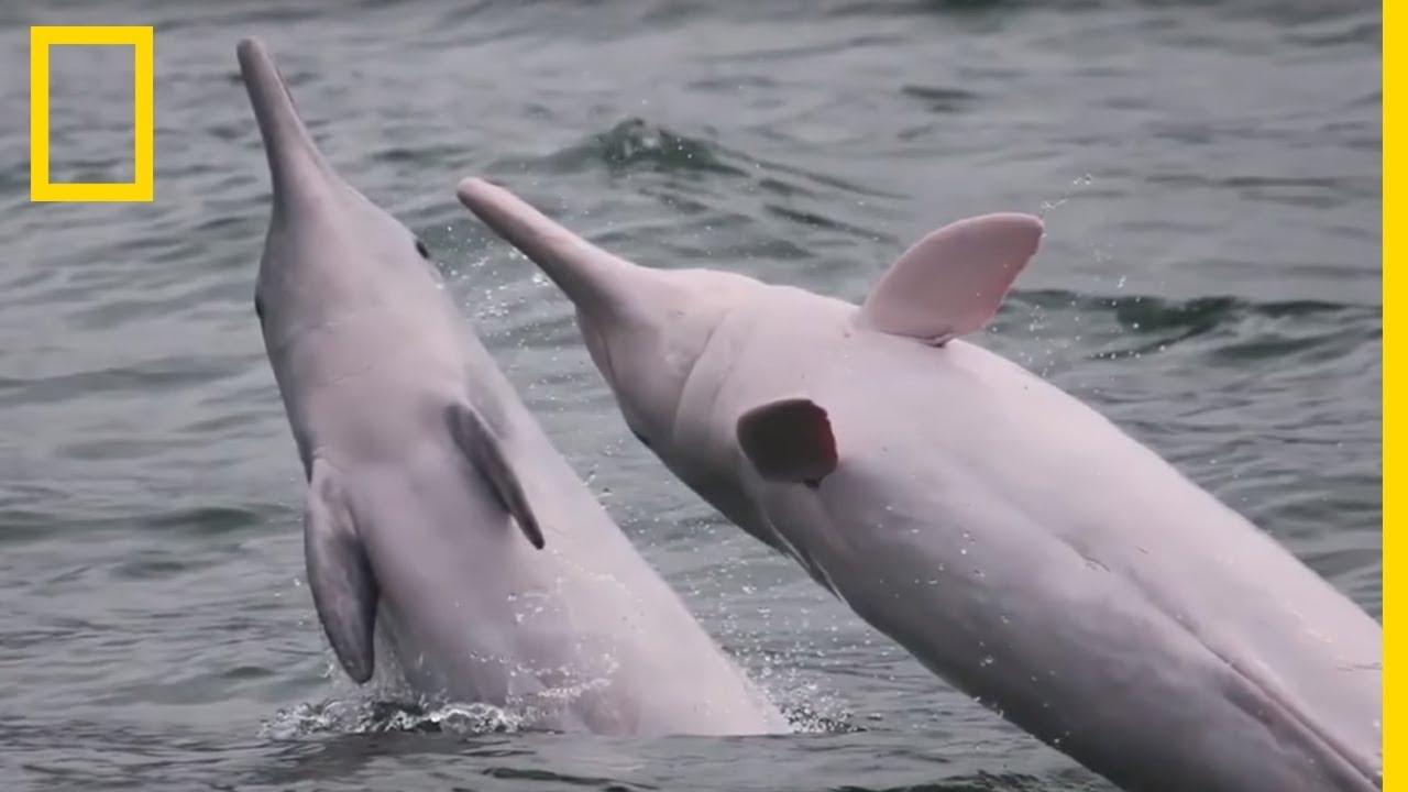 En Chine, Les Dauphins Sont Rose pour Dauphin Amazonie