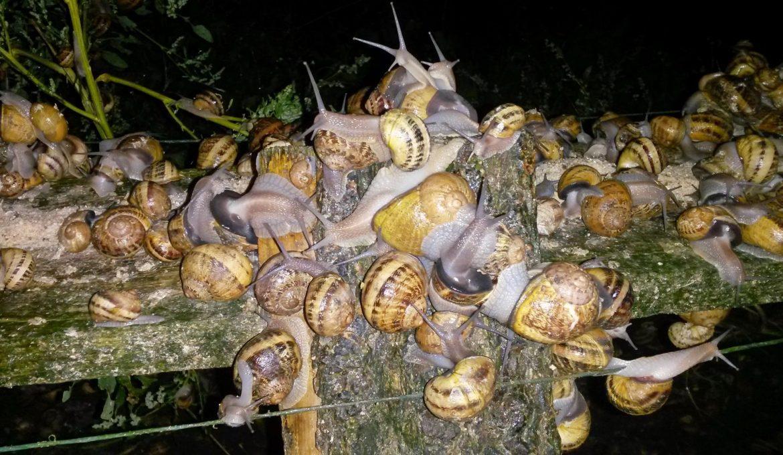 Escargots D'élevage Versus Escargots Sauvages – Le Gastéropote encequiconcerne Elevage Escargot