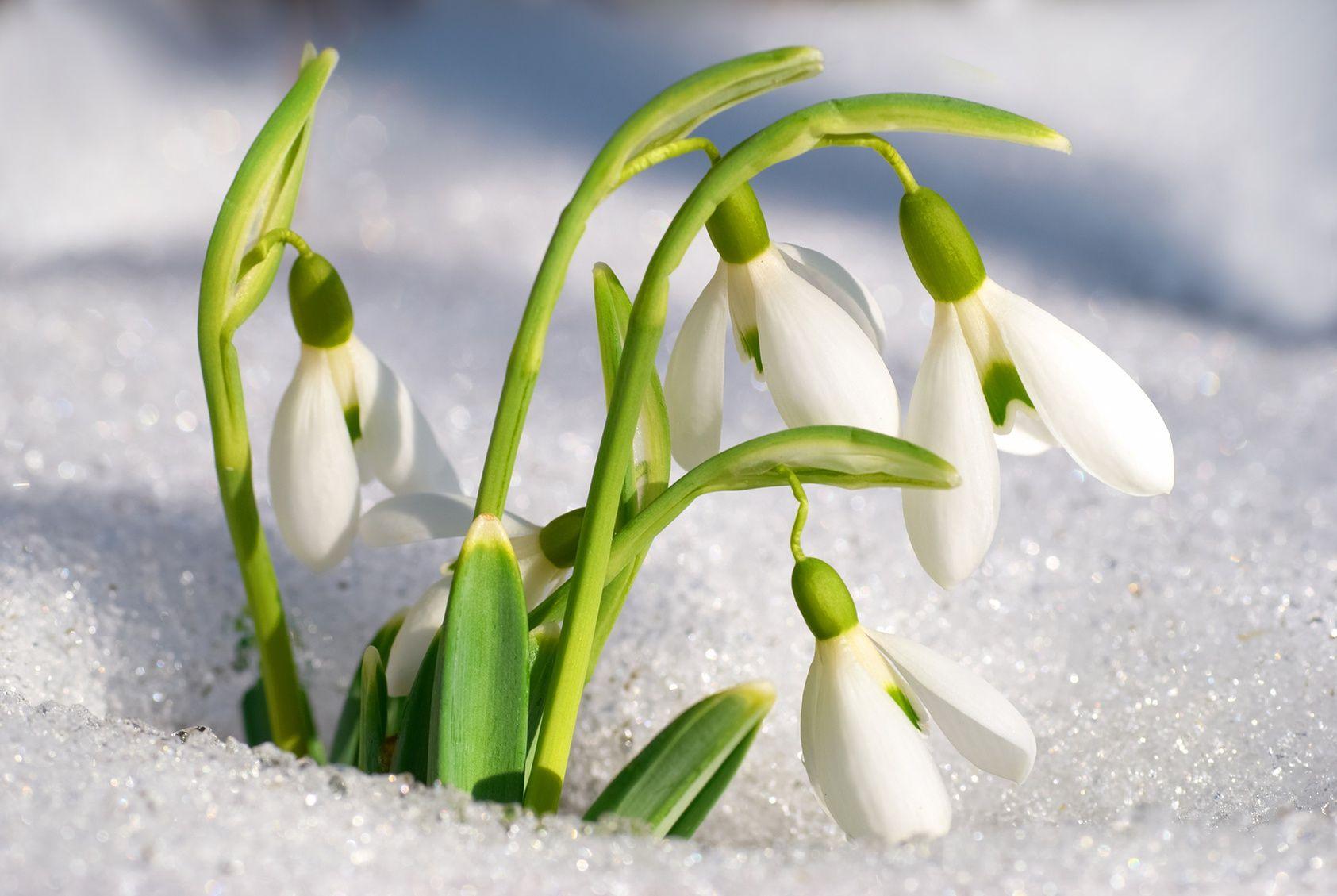 Fleurs Du Printemps, L'incroyable Diversité Des Perce-Neige pour Fleur Qui Pousse Au Printemps