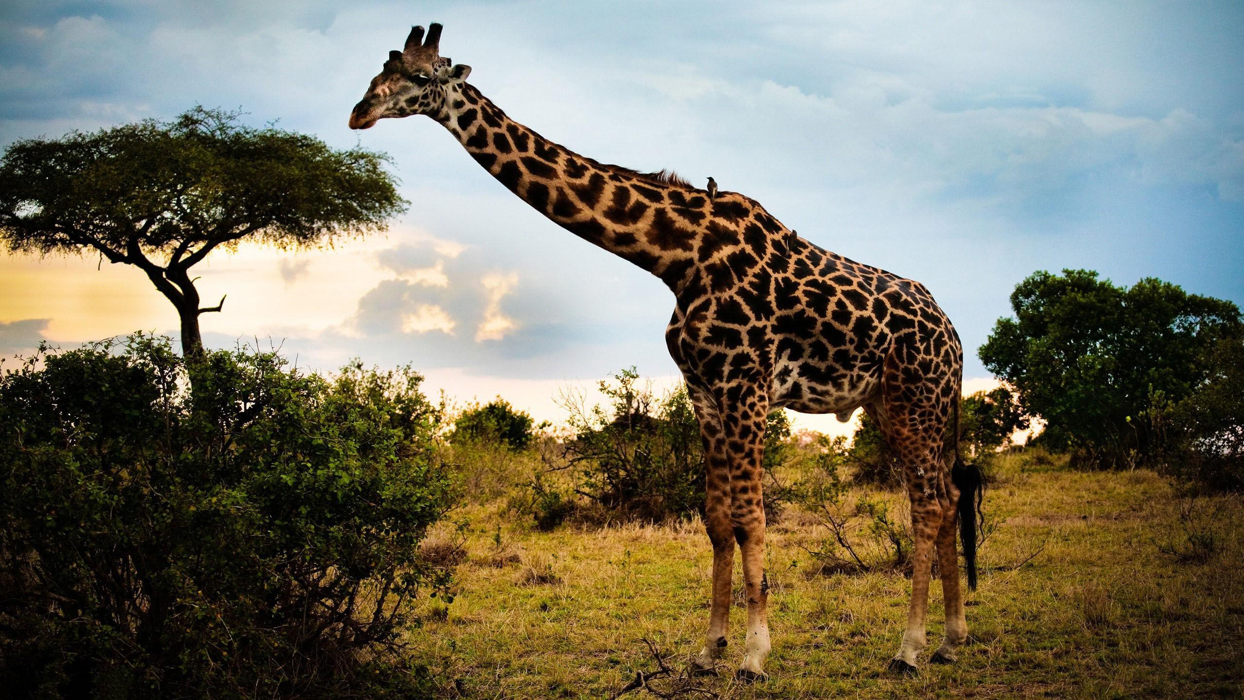 Fonds D'écran Animaux Sauvages Afrique - Maximumwall à Animaux Sauvages De L Afrique