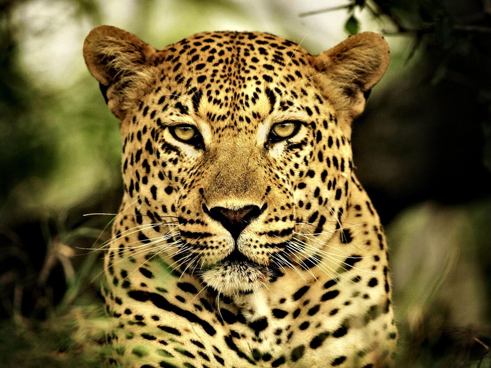 Fonds D'écran Animaux Sauvages Afrique - Maximumwall intérieur Animaux Sauvages De L Afrique