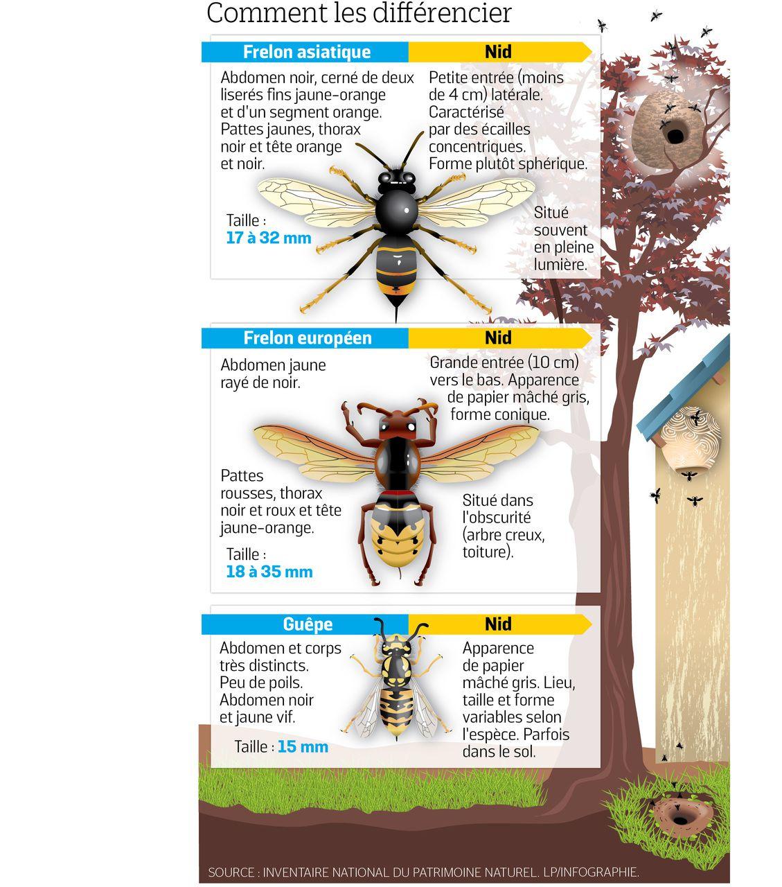 Frelons Asiatiques : Dix Choses À Savoir Sur Cet Insecte avec Les Noms Des Insectes