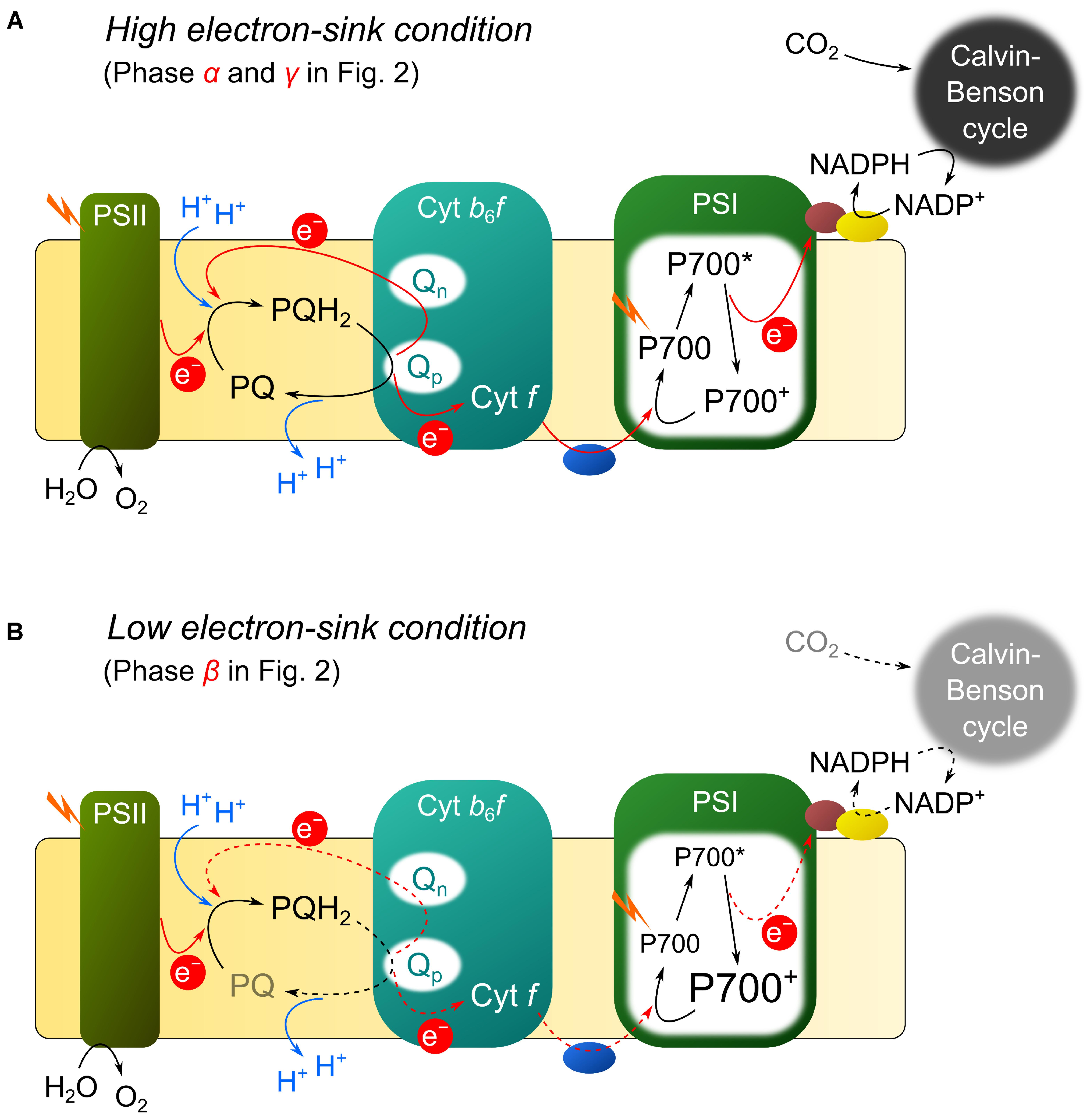 Frontiers | Reduction-Induced Suppression Of Electron Flow à Musique Cycle 2
