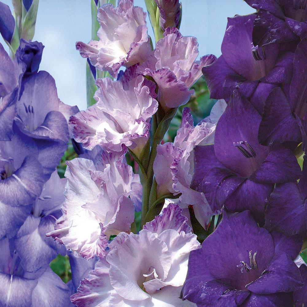 Glaïeul : Conseils De Plantation Et Entretien pour Fleur Qui Pousse Au Printemps