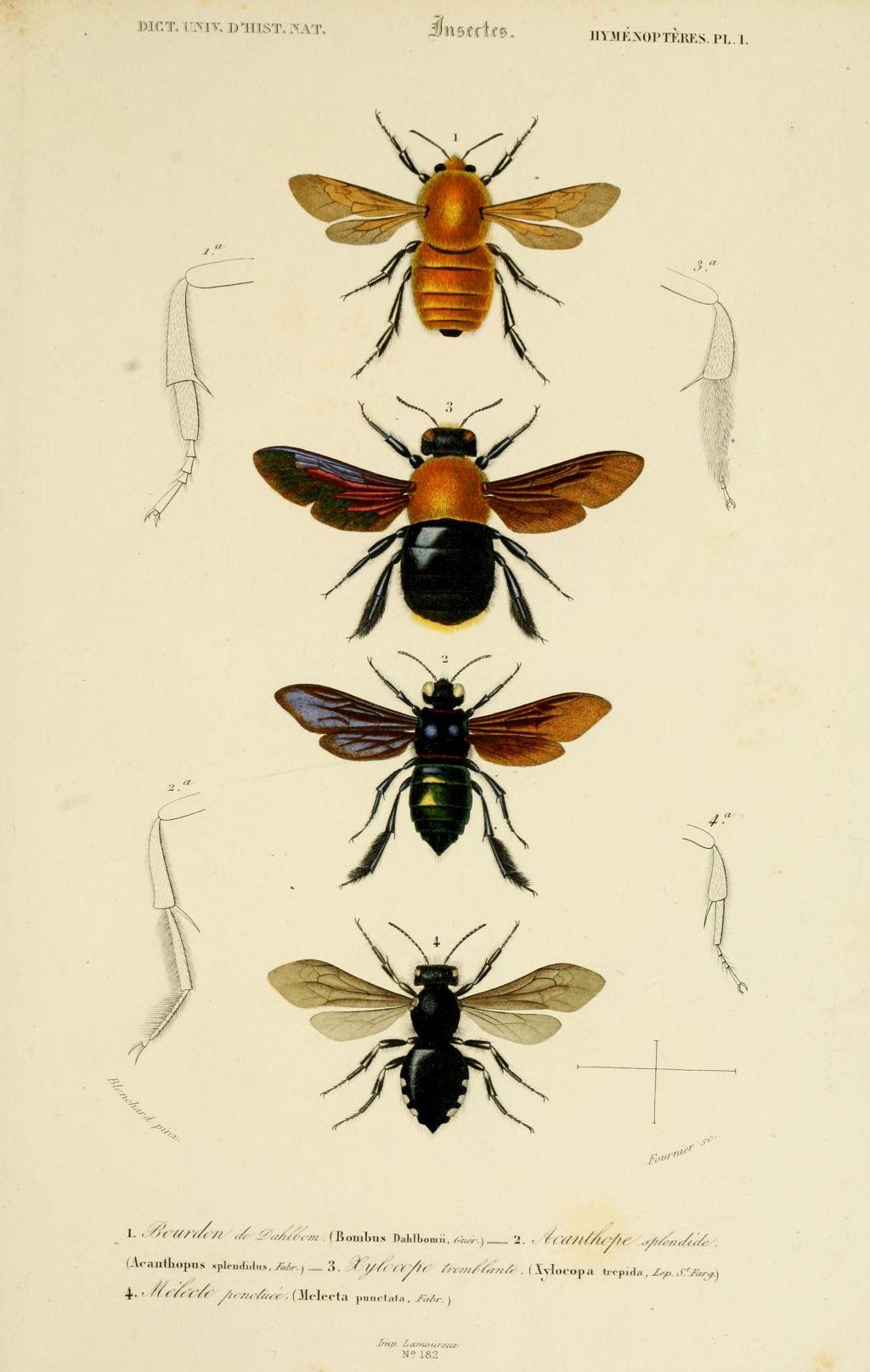 Gravures Couleur D'insectes - Dessin Insectes 0119 Acanthope dedans Les Noms Des Insectes