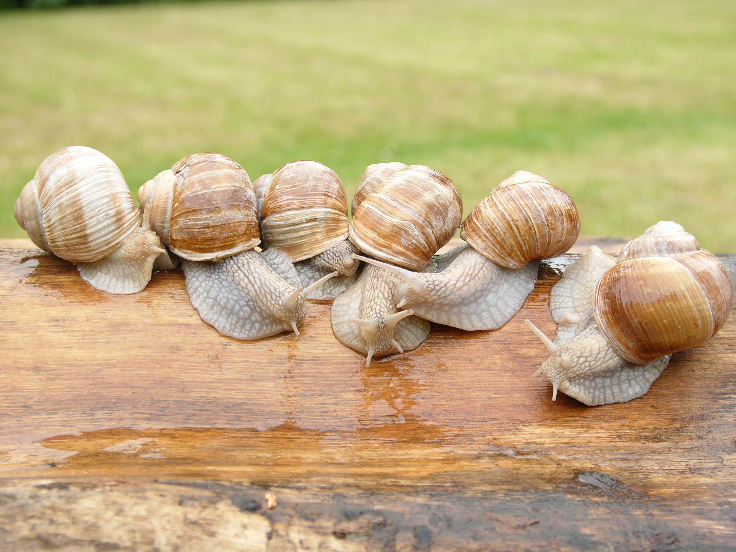 Héliciculture — Wikipédia concernant Elevage Escargot