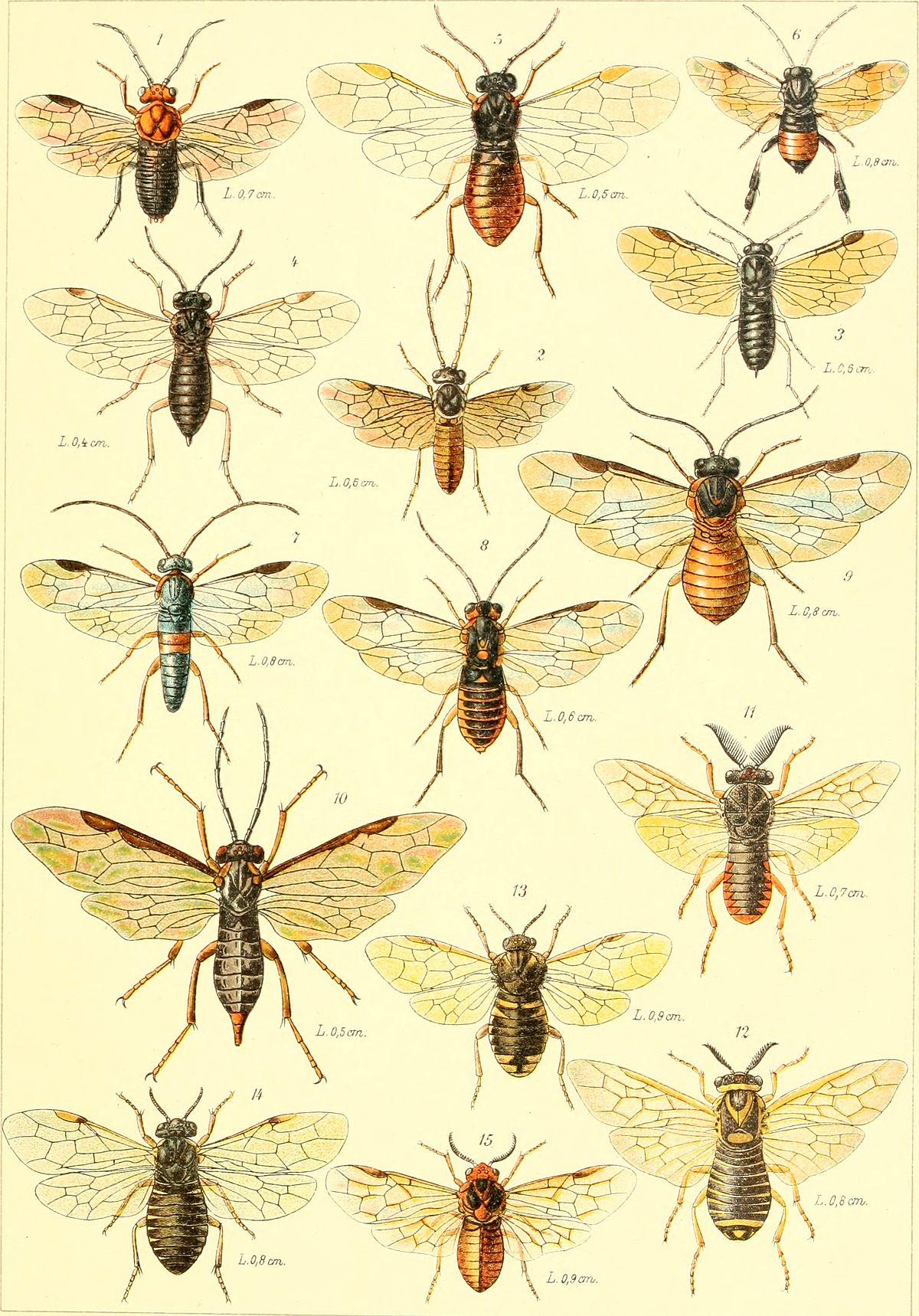 Hymenoptera — Wikipédia destiné Les Noms Des Insectes