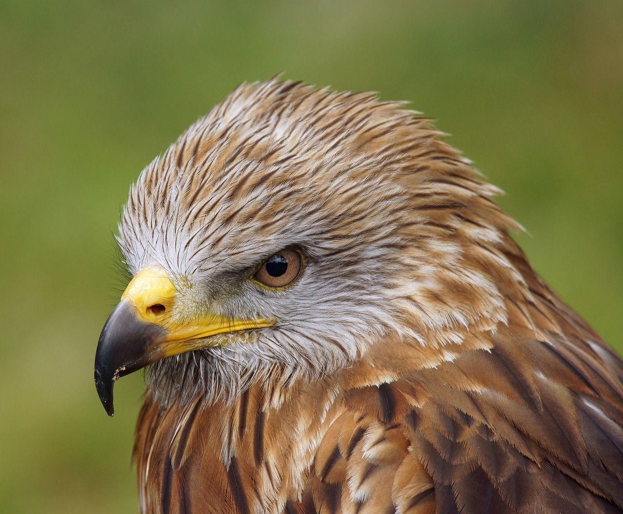 Image Gratuite Sur Pixabay - Buse, Oiseau De Proie, Zoo De pour Images D Oiseaux Gratuites
