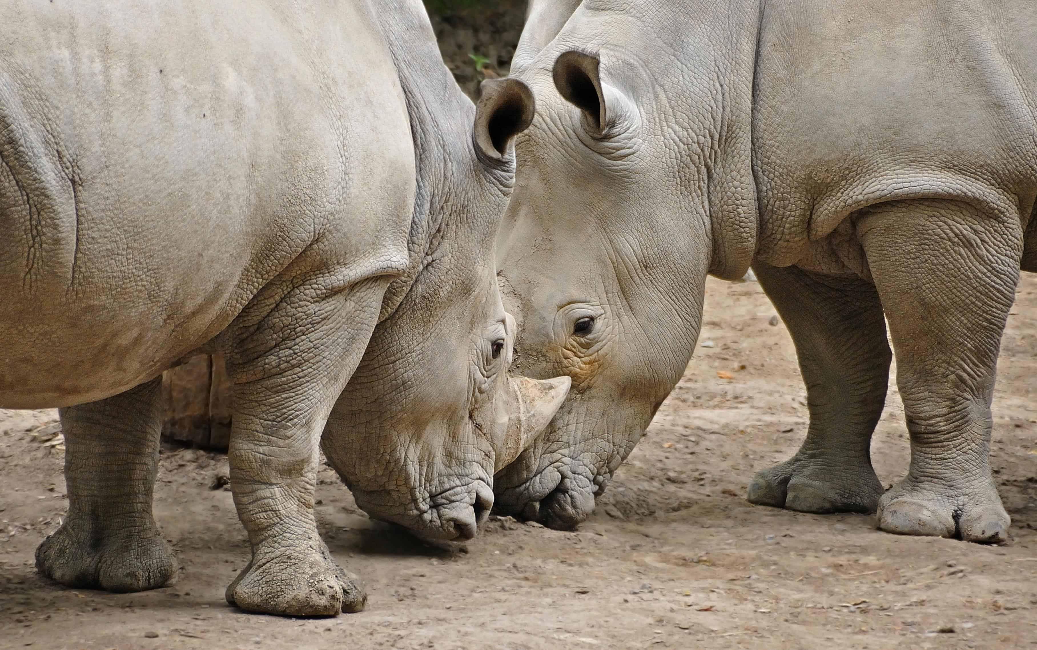 Image Libre: Afrique, Rhinocéros, Safari, Animaux Sauvages avec Animaux Sauvages De L Afrique