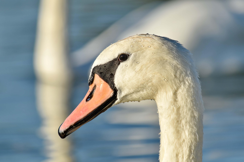 Image Libre: Bec, Belle Image, Gratuit D'images, Cou, Cygne pour Images D Oiseaux Gratuites