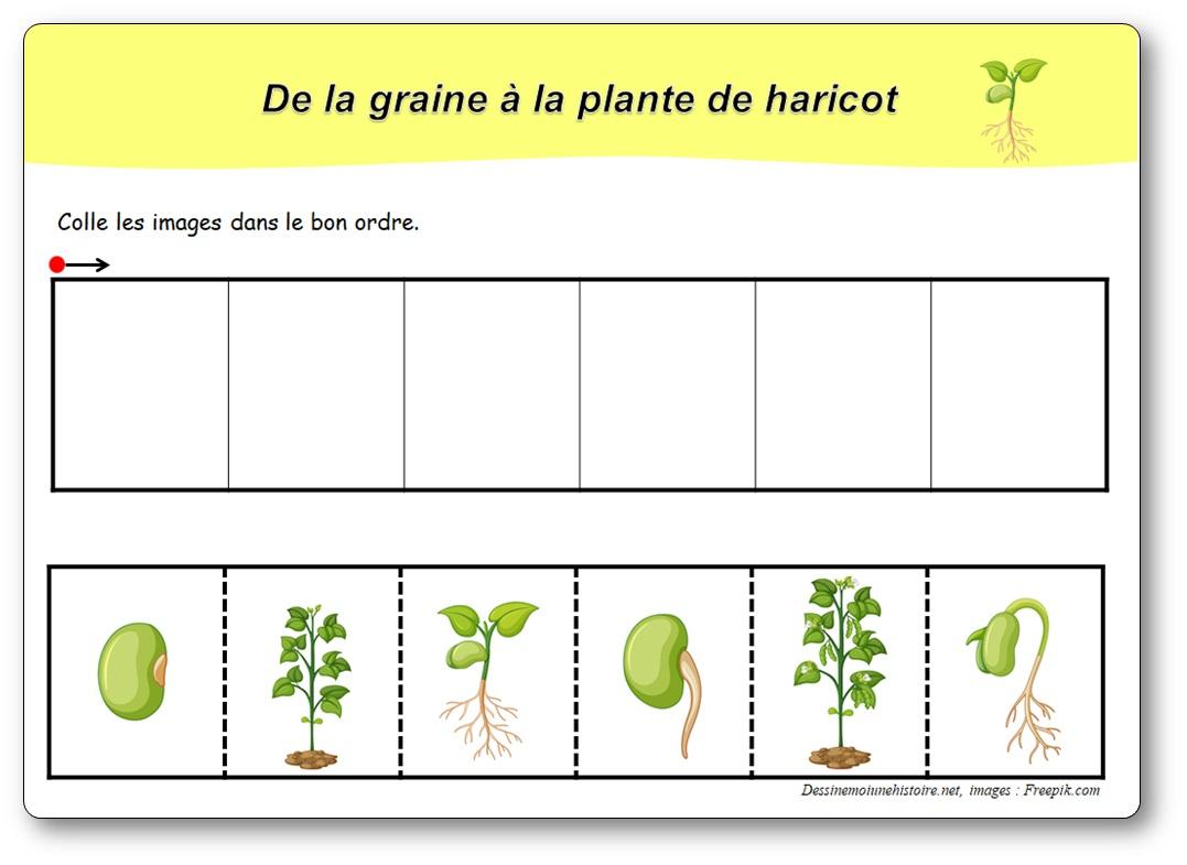 Images Séquentielles : De La Graine À La Plante De Haricot dedans Images Séquentielles Maternelle