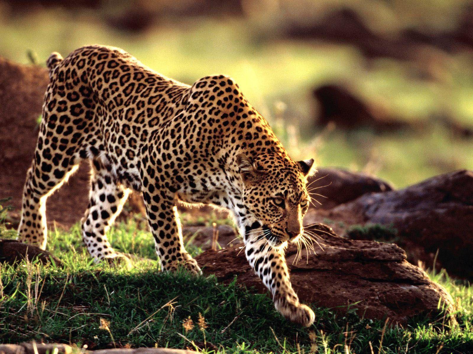 Imposant Animaux Sauvages De L Afrique Nombre Post Id 27938 pour Animaux Sauvages De L Afrique