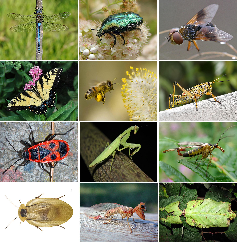 Insecte — Wikipédia pour Les Noms Des Insectes
