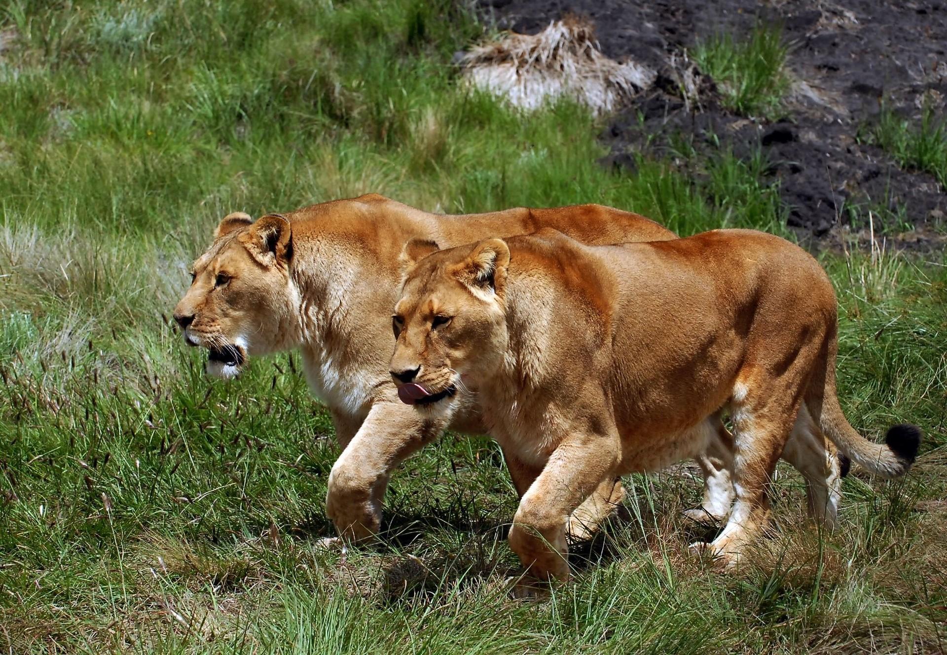 La Chasse Close - Quatre Pattes En Suisse avec Animaux Sauvages De L Afrique